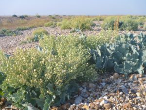 close-up-of-sea-kale-berries-300x225 Wetland Walks in Sussex