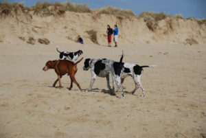 dunes-and-dogs.1000px-300x201 We're going to the Beach! Beach! Beach...