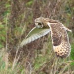 shortearedowl.Medmerry2015-150x150 Brent Lodge Wildlife Hospital