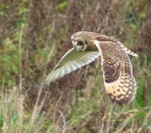 shortearedowl.Medmerry2015-300x265 Birding and bird watching in West Sussex