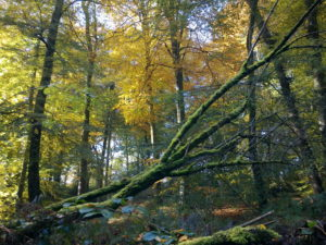 Full-grown-beech-trees.fullcircle1500px-300x225 Blog