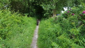 5.-ChalkLanecutthroughpath-midsummer.1000px-300x169 A 2-hour dog walk locally from Chichester Self Catering