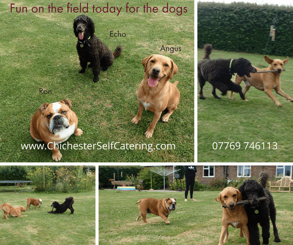 Fun-on-the-field-today-for-the-dogs.22.7.17 Happiness - enhanced with doggy friends!