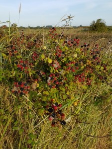 brambles.Pagham.08.17-225x300 Autumn delights are often free thanks to Nature.