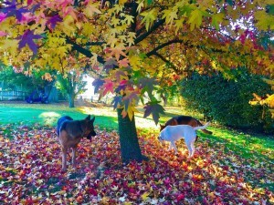 dogsandautumnleaves-300x225 A walk at South Harting in the South Downs