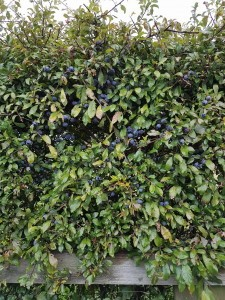 sloesbushes-225x300 Sloe foraging is a rewarding pastime
