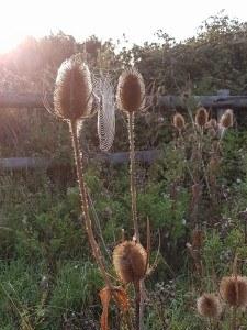 teaselandcobweb.950-225x300 Autumn delights are often free thanks to Nature.