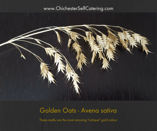 Golden Oats - Avena sativa